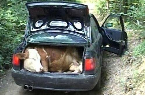 Ноћас је у Г.Кусцу украден аутомобил, из Станишора лопови однели краву и теле